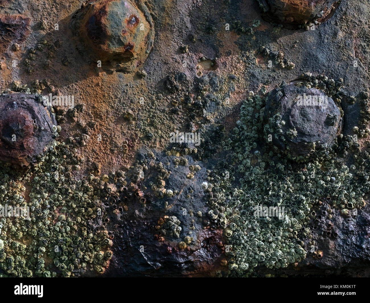 Barnacle clusters on a rusting post on the beach. - Stock Image