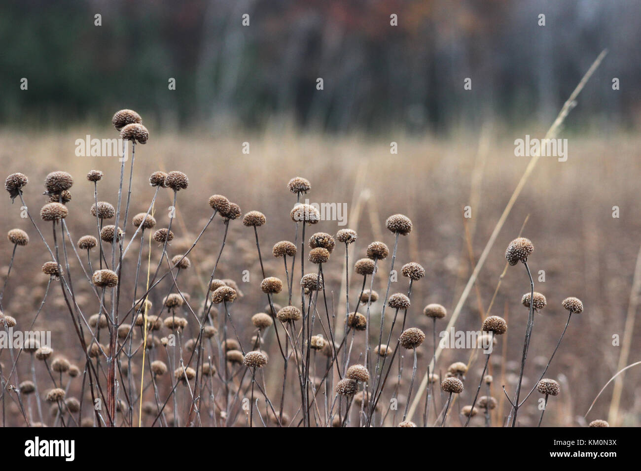 Wild bergamot seed heads grow in a field November 4, 2017 in Minnesota.  (photo by Courtney Celley via Planetpix) - Stock Image