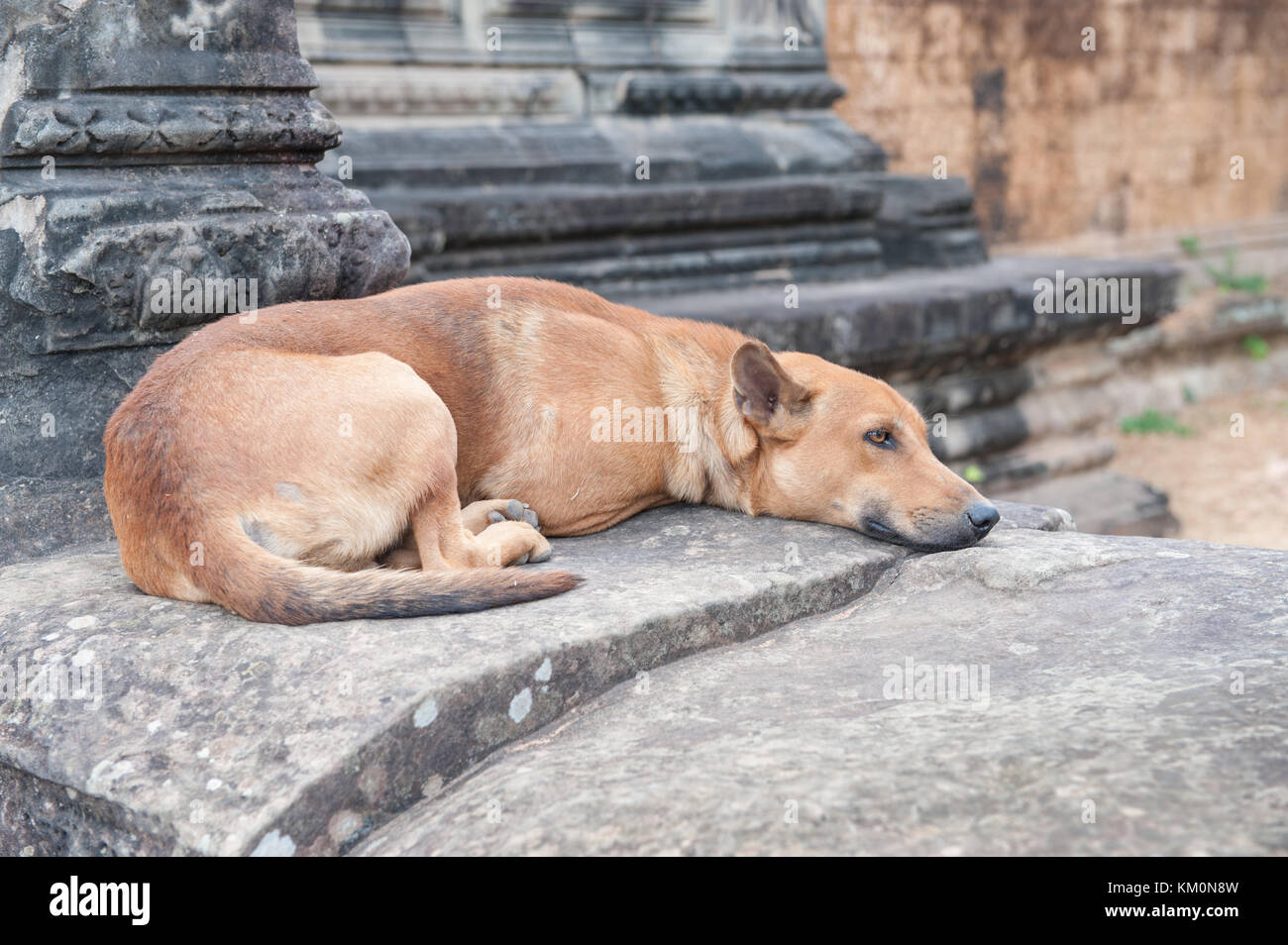 Stray dog resting at Angkor Wat in Siem Reap, Cambodia. Angkor Wat is a 12th century temple and a world famous UNESCO Stock Photo