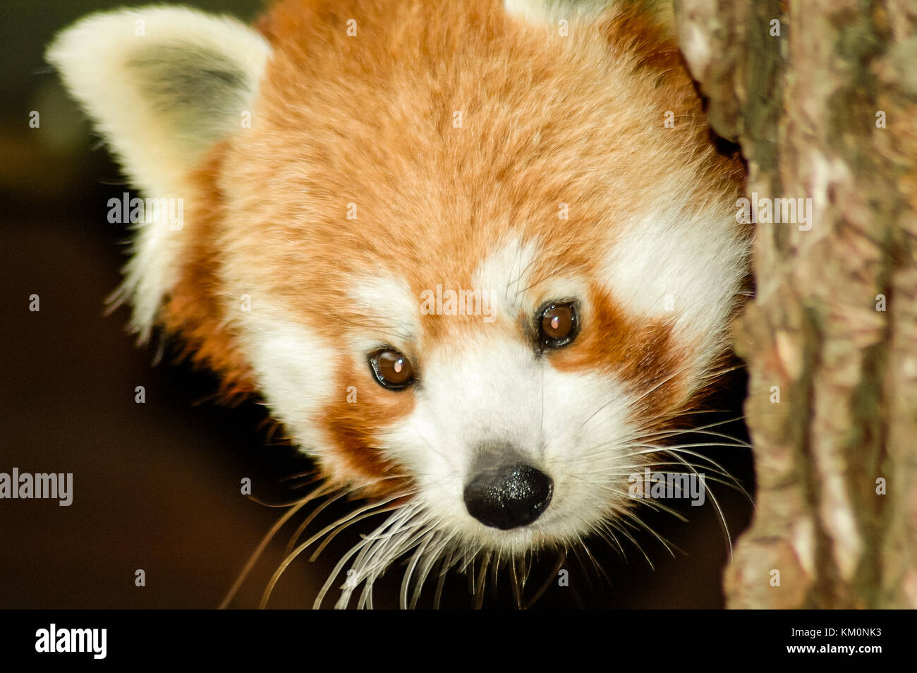 A Red Panda (Ailurus fulgens) or Lesser Panda peers from behind a tree. Stock Photo