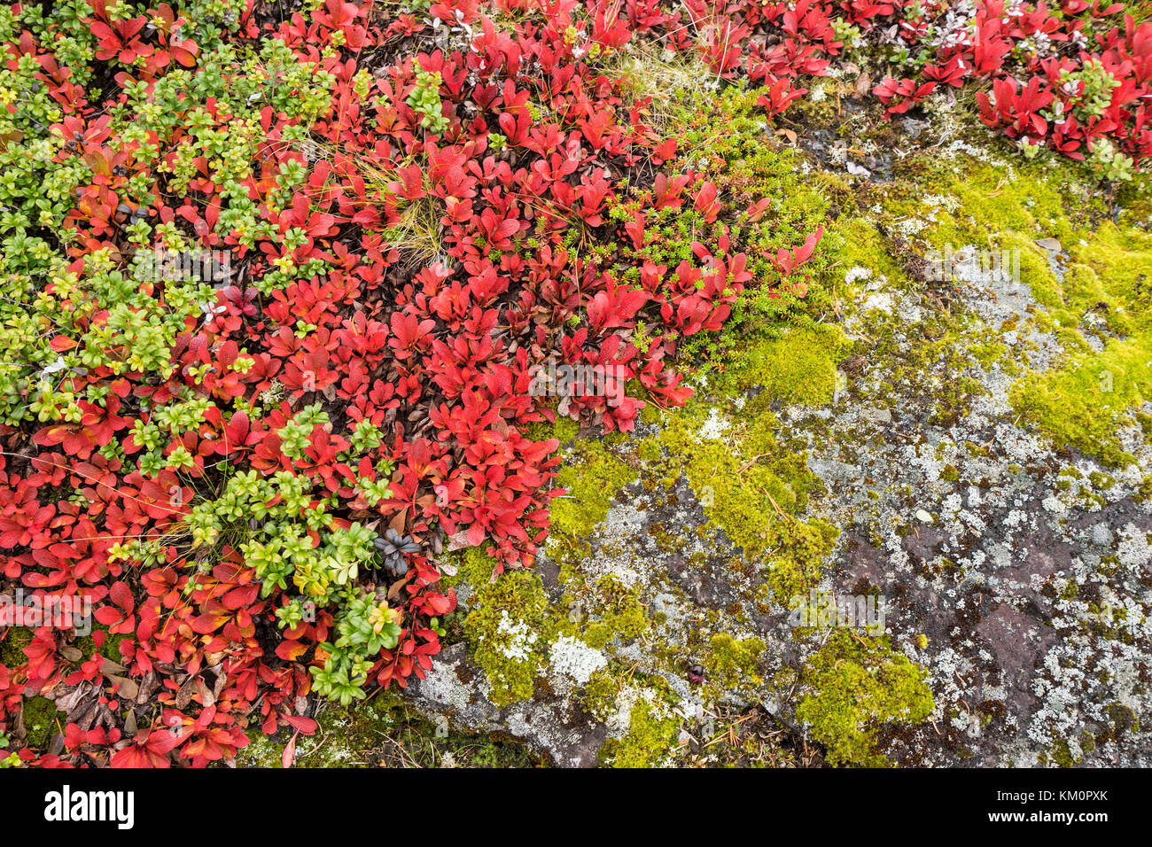 Bearberry in autumn. Fall colors - ruska time in Lapland. Finland, Nordic countries in Europe Stock Photo