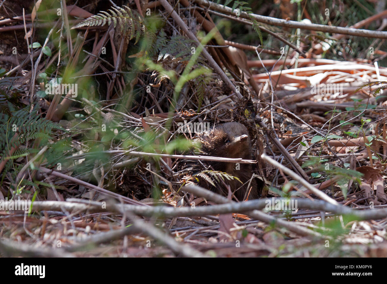 Short beaked echidna emerging from concealment under a pile of litter in daylight in NSW Australia - Stock Image