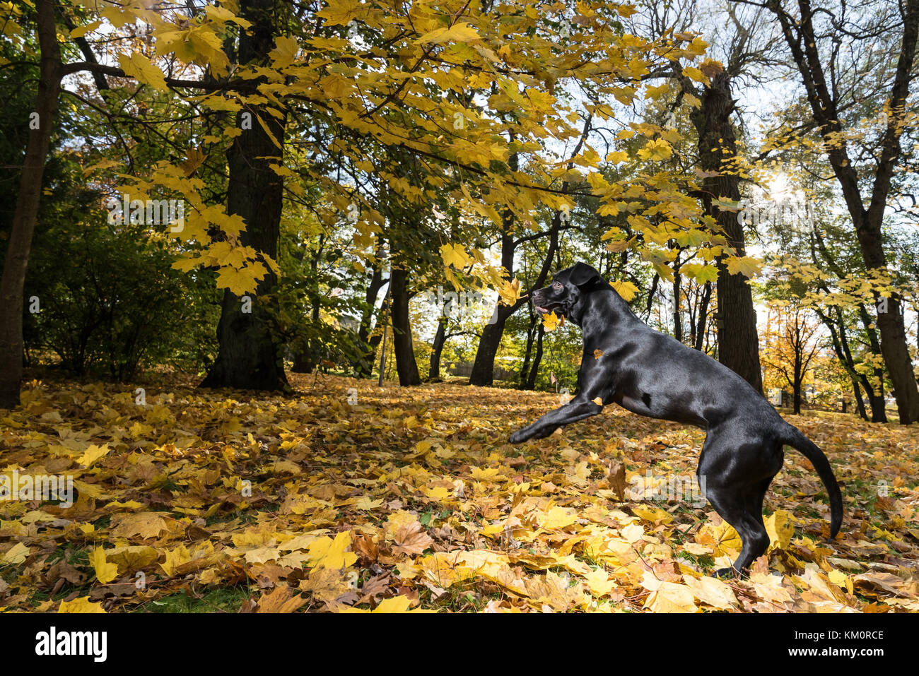 Portrait of a Cane Corso dog breed on a nature background. Dog playing on the grass with colored leaves in autumn. - Stock Image