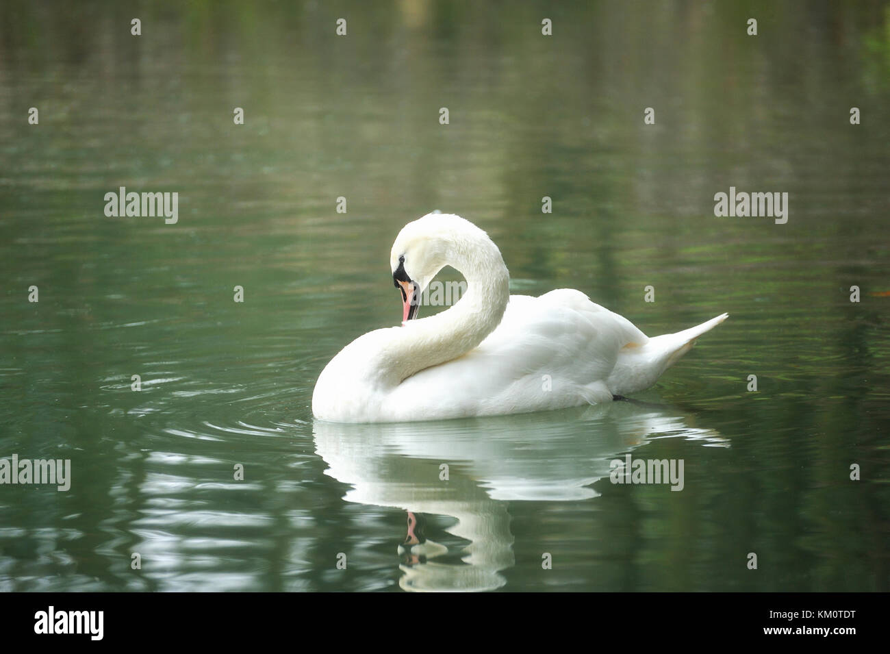 White swan portrait. Swan swimming on a river. Stock Photo