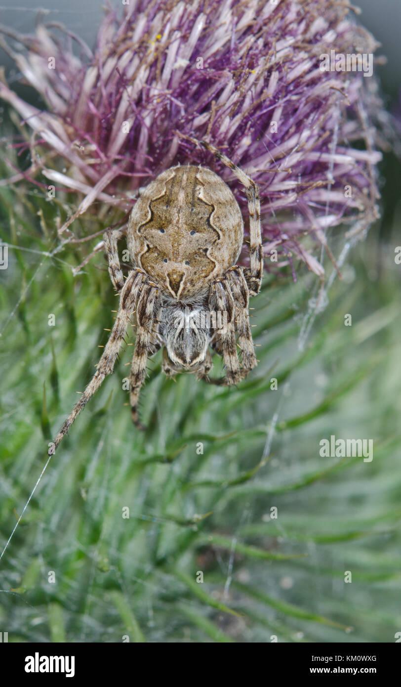 Female Bridge Orbweaver Spider (Larinioides sclopetarius) in Sussex, UK - Stock Image