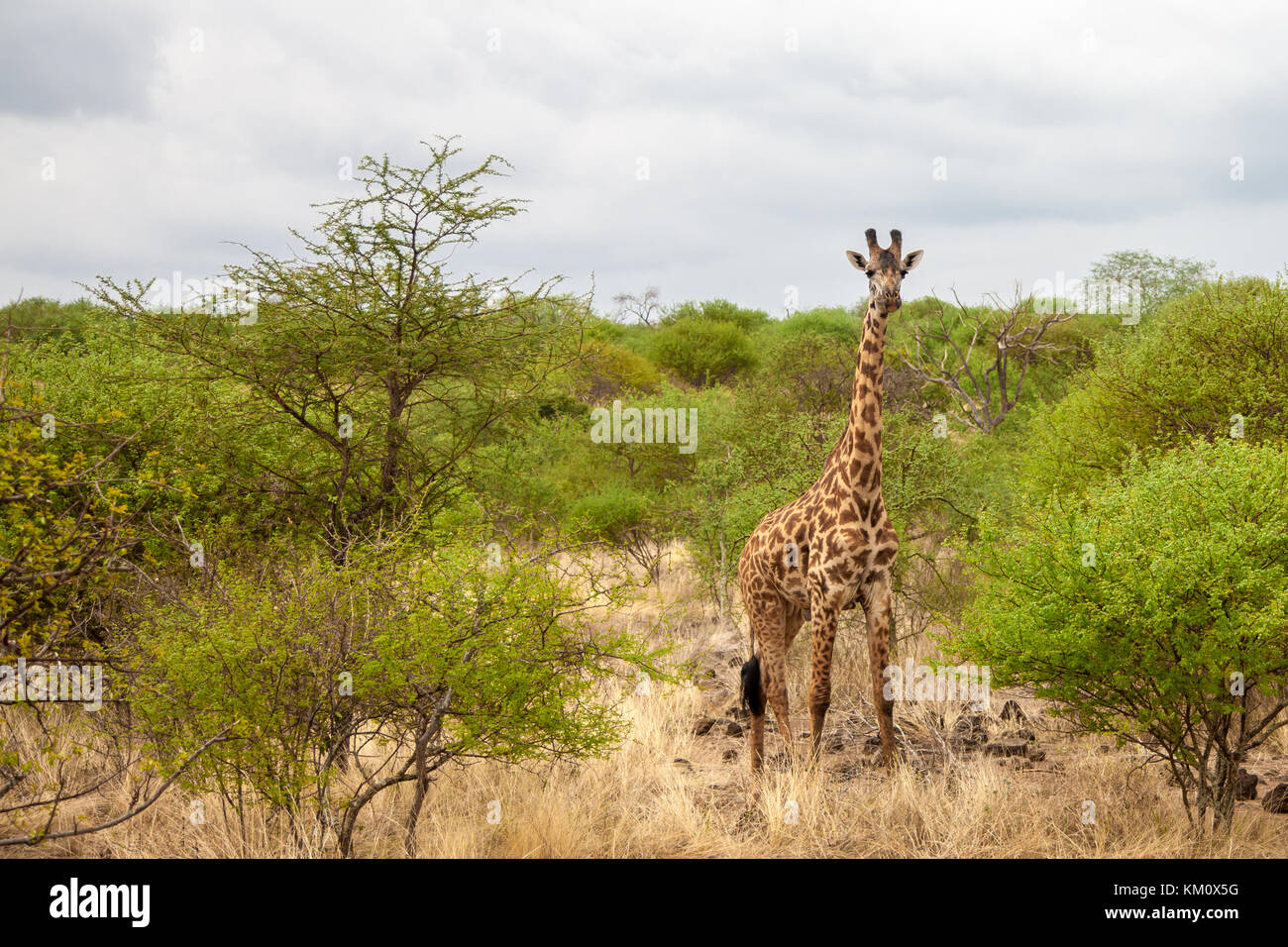 Game drive in Kenya, giraffe is watching and standing - Stock Image