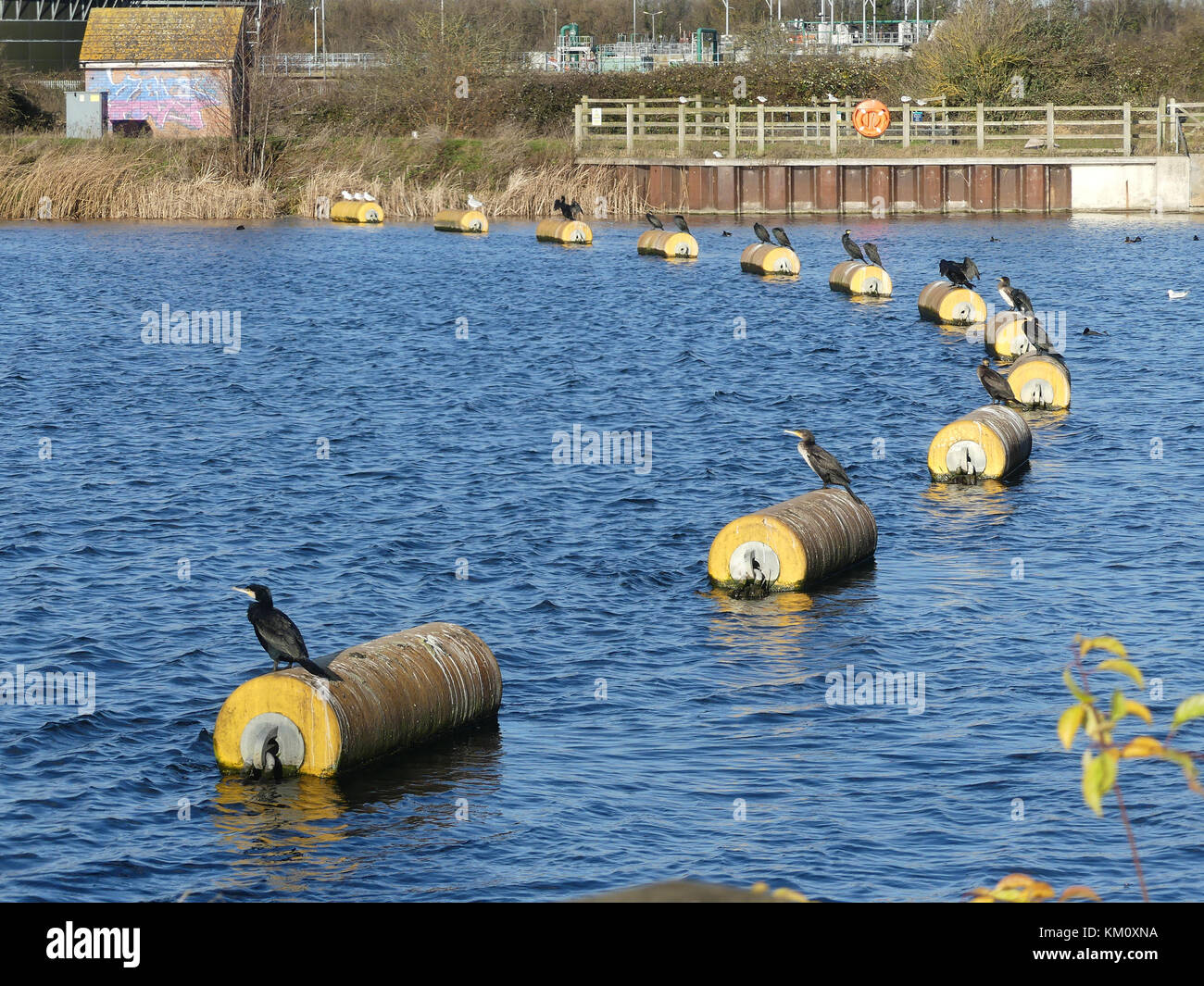 GREAT CORMORANTS Phalacrocorax carbo) drying themselves on a Jubilee River weir near Slough, Berkshire, England. - Stock Image