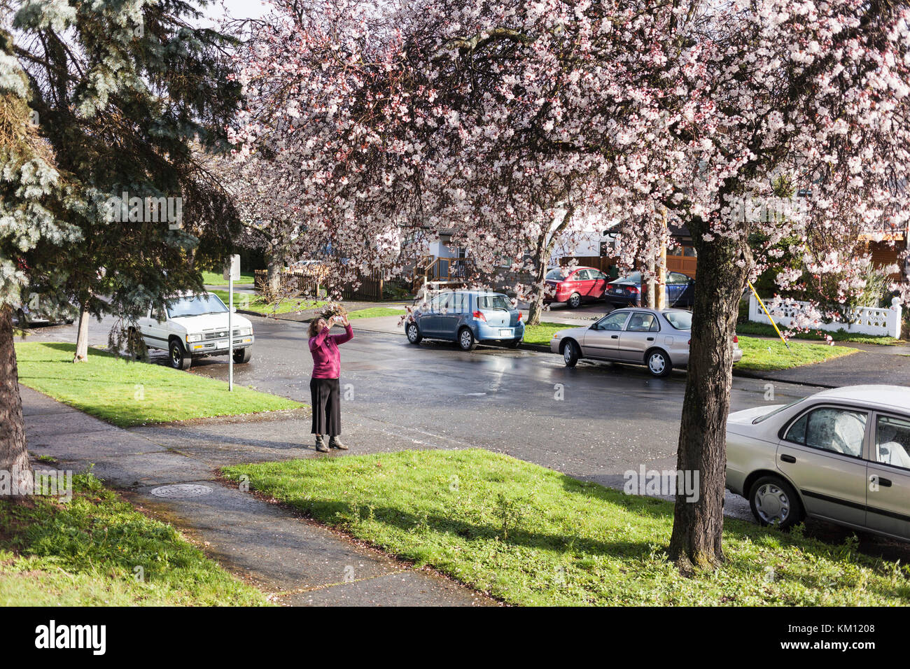 Woman taking photos of cherry tree.  Victoria, BC Canada - Stock Image