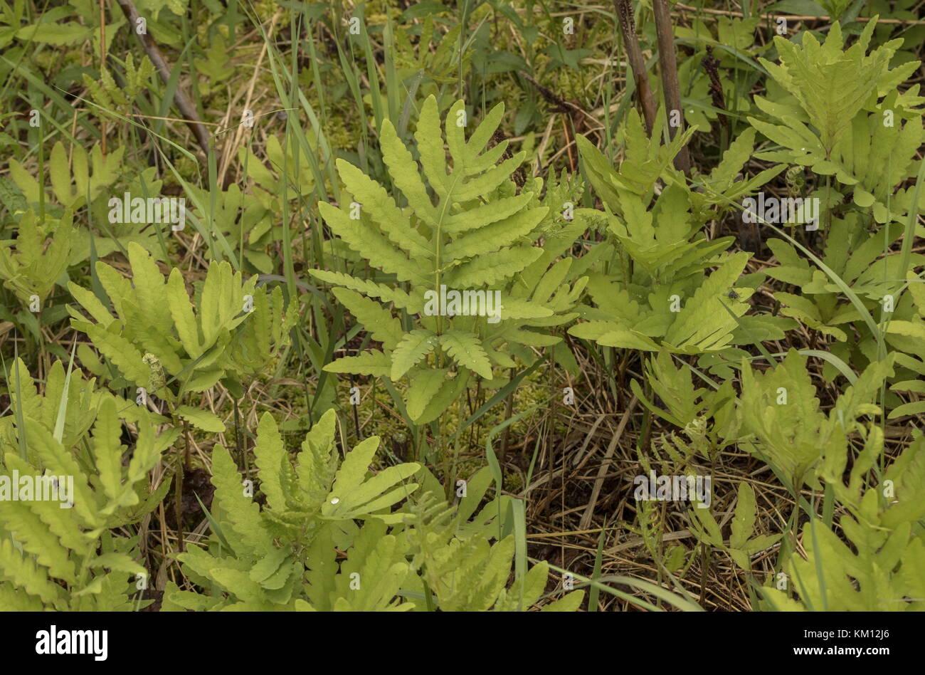 Fronds of Sensitive fern, Onoclea sensibilis, in summer, Newfoundland. - Stock Image