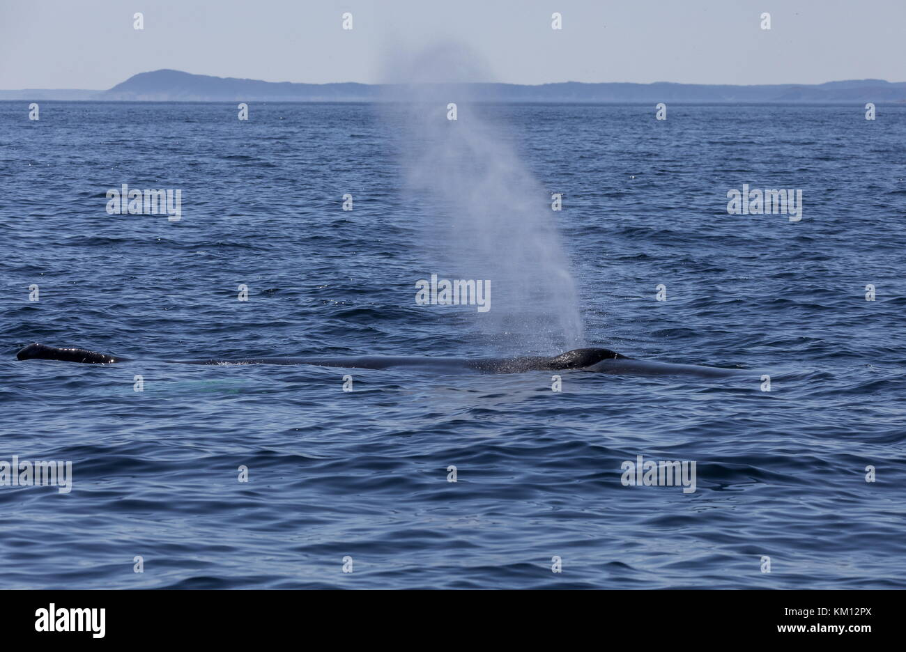 Humpback whale, Megaptera novaeangliae, surfacing to breathe. Stock Photo