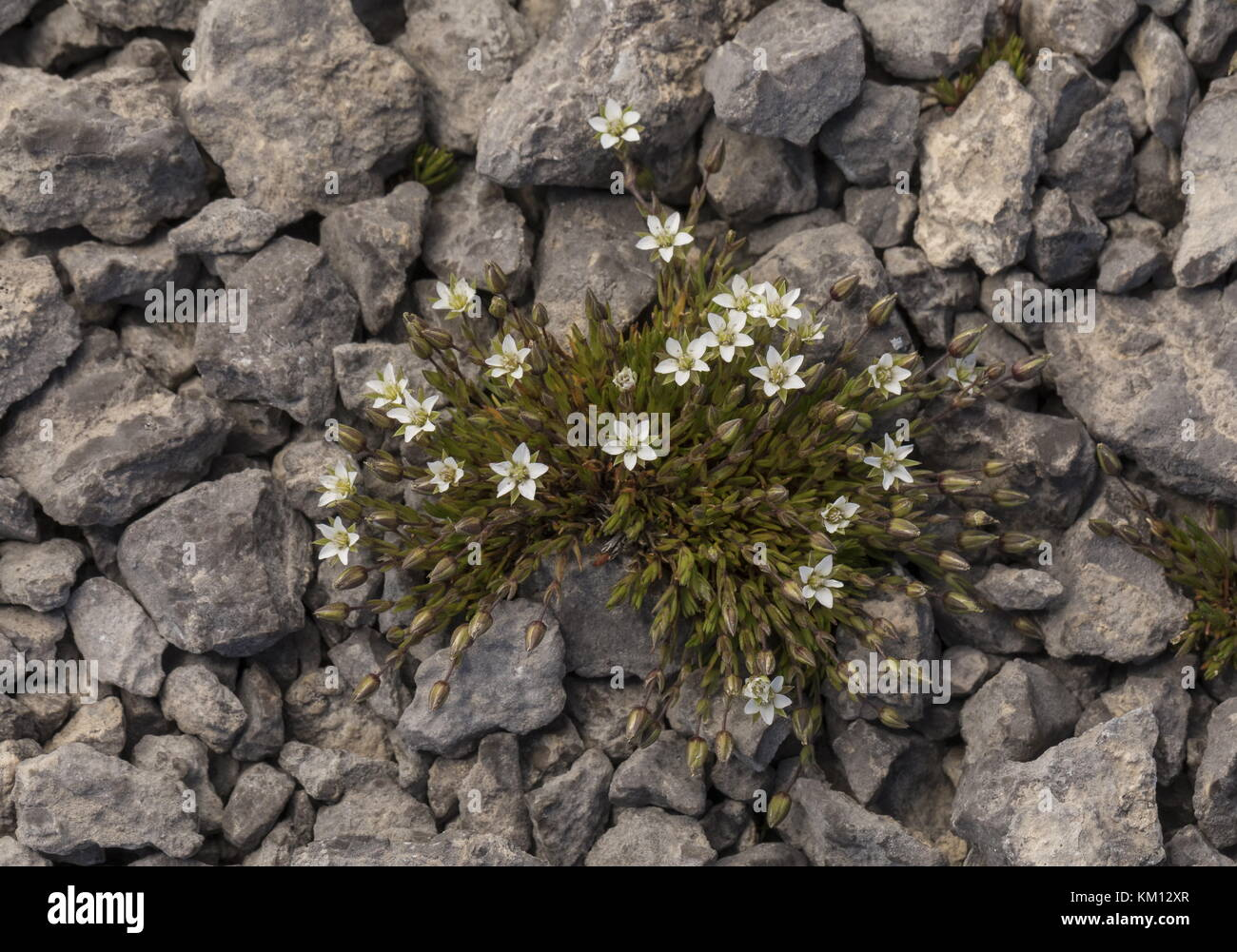 Reddish Sandwort, Minuartia rubella, in flower on limestone barrens, Newfoundland. - Stock Image