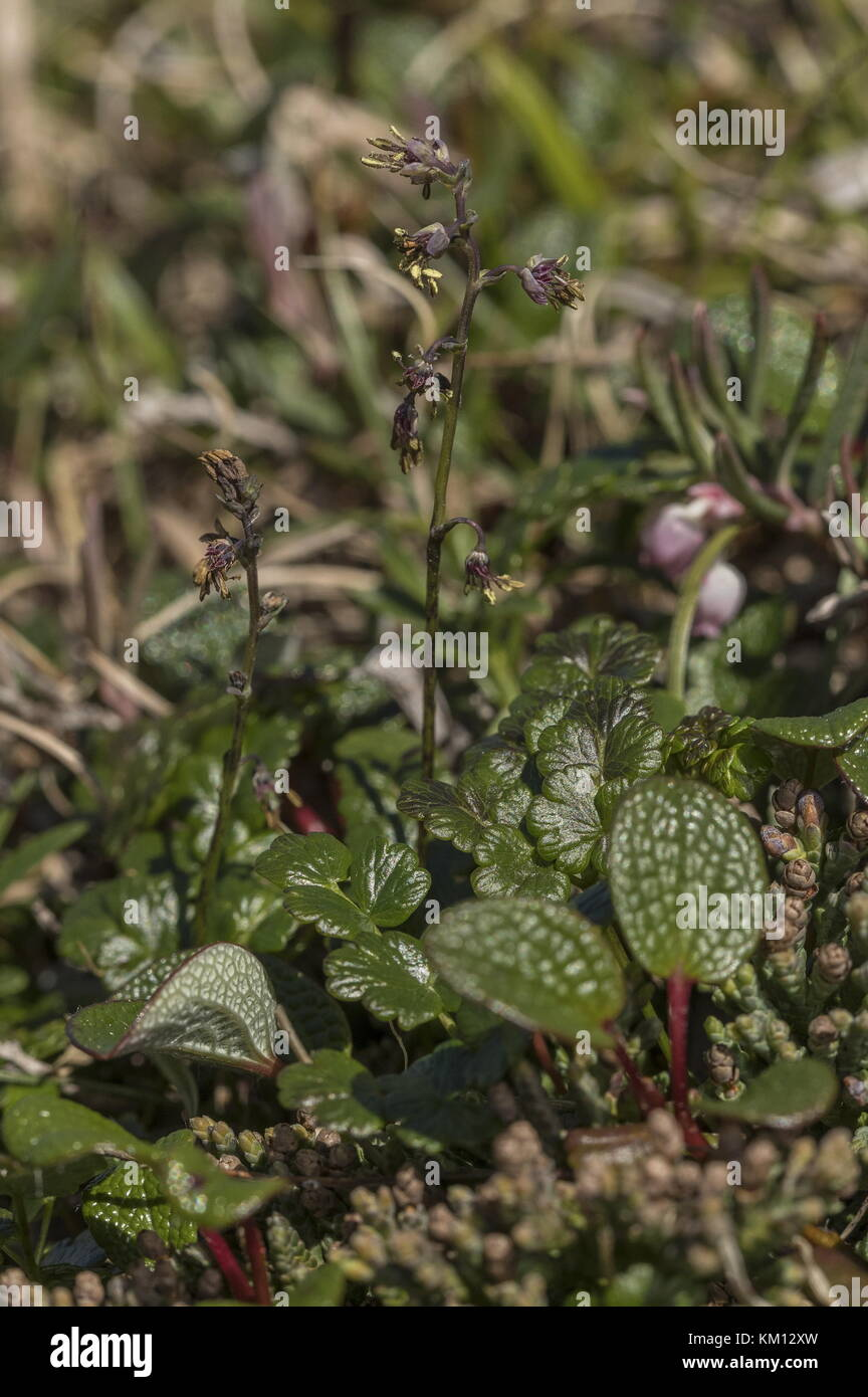 Alpine meadow-rue, Thalictrum alpinum, in flower in tundra. - Stock Image