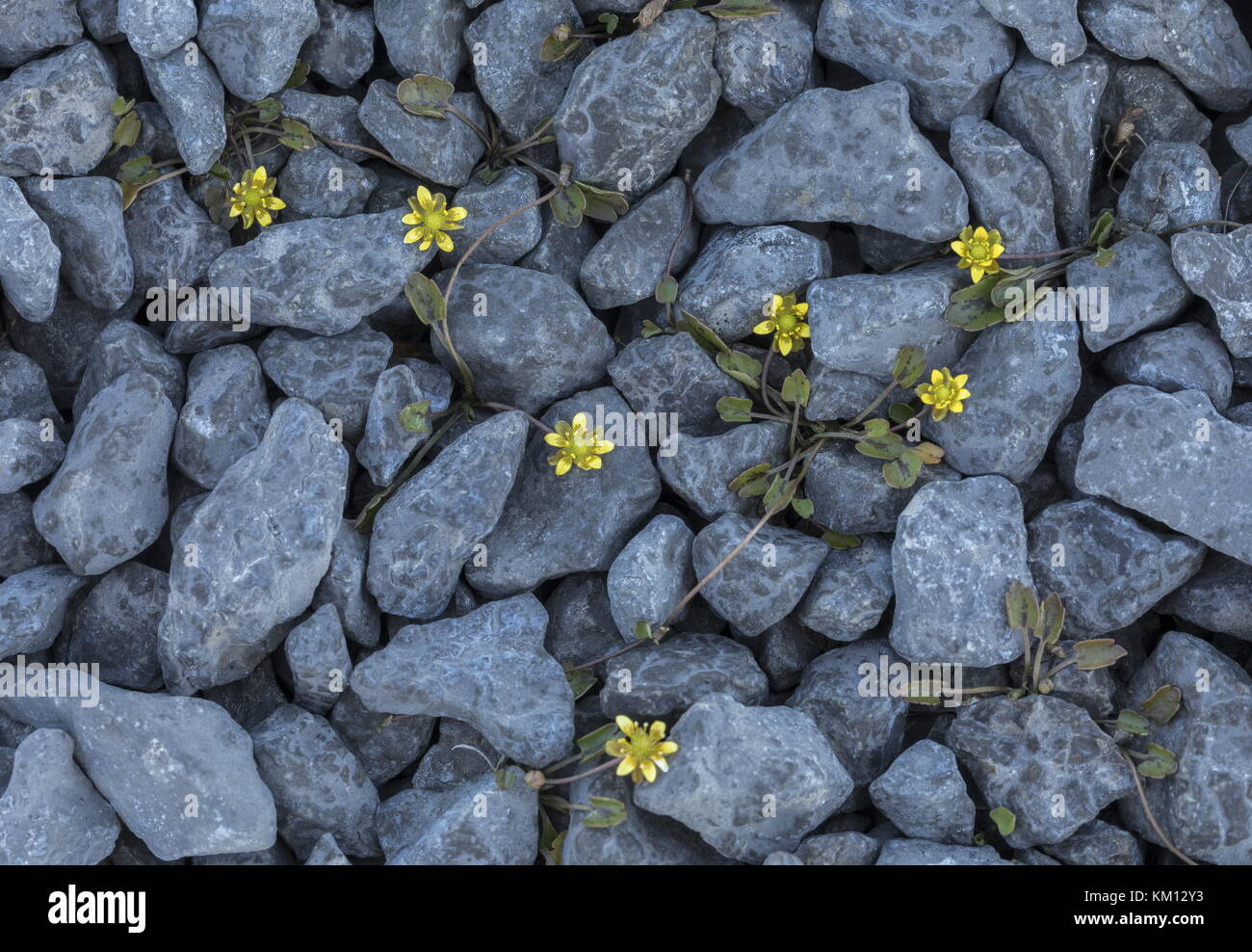Alkali buttercup or Seaside buttercup, Ranunculus cymbalaria, with runners amongst limestone pebbles. Newfoundland. - Stock Image