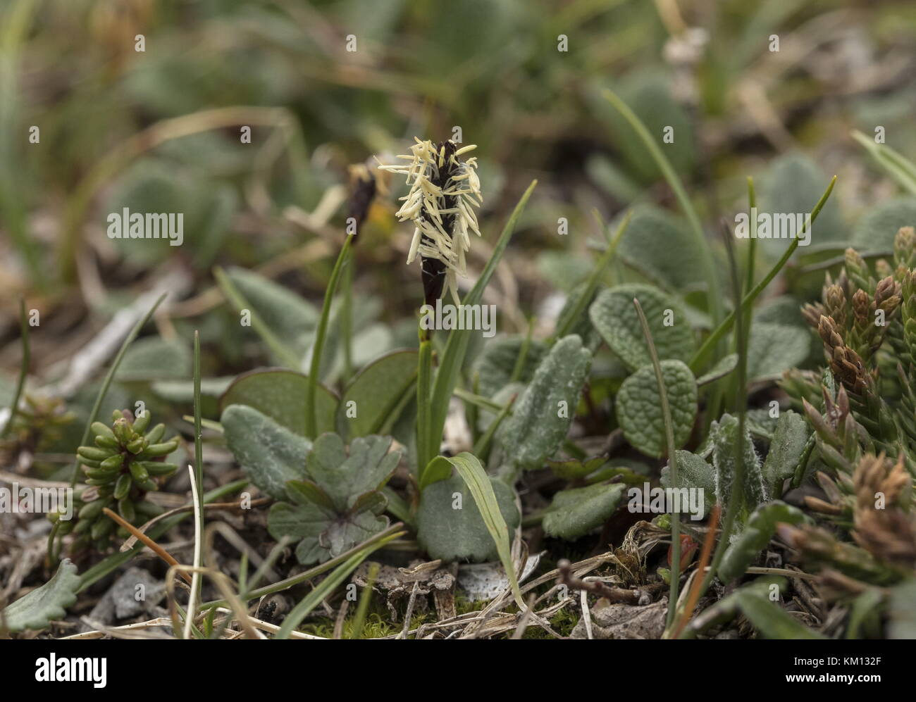 Canadian single-spike sedge, Carex scirpoidea in flower in tundra grassland, Newfoundland. - Stock Image