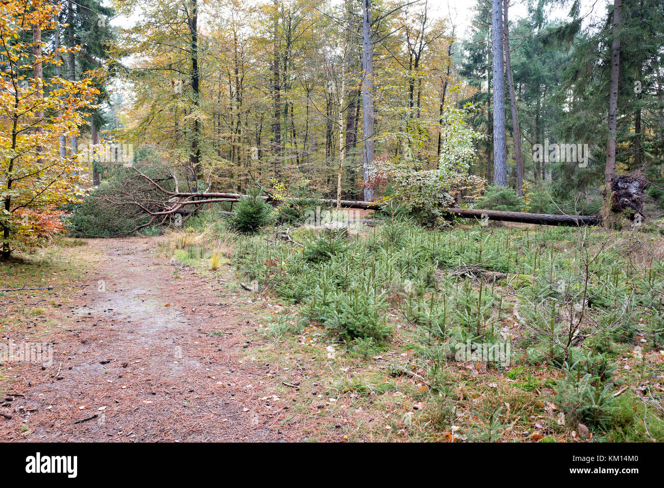 uprooted tree in forest - Stock Image