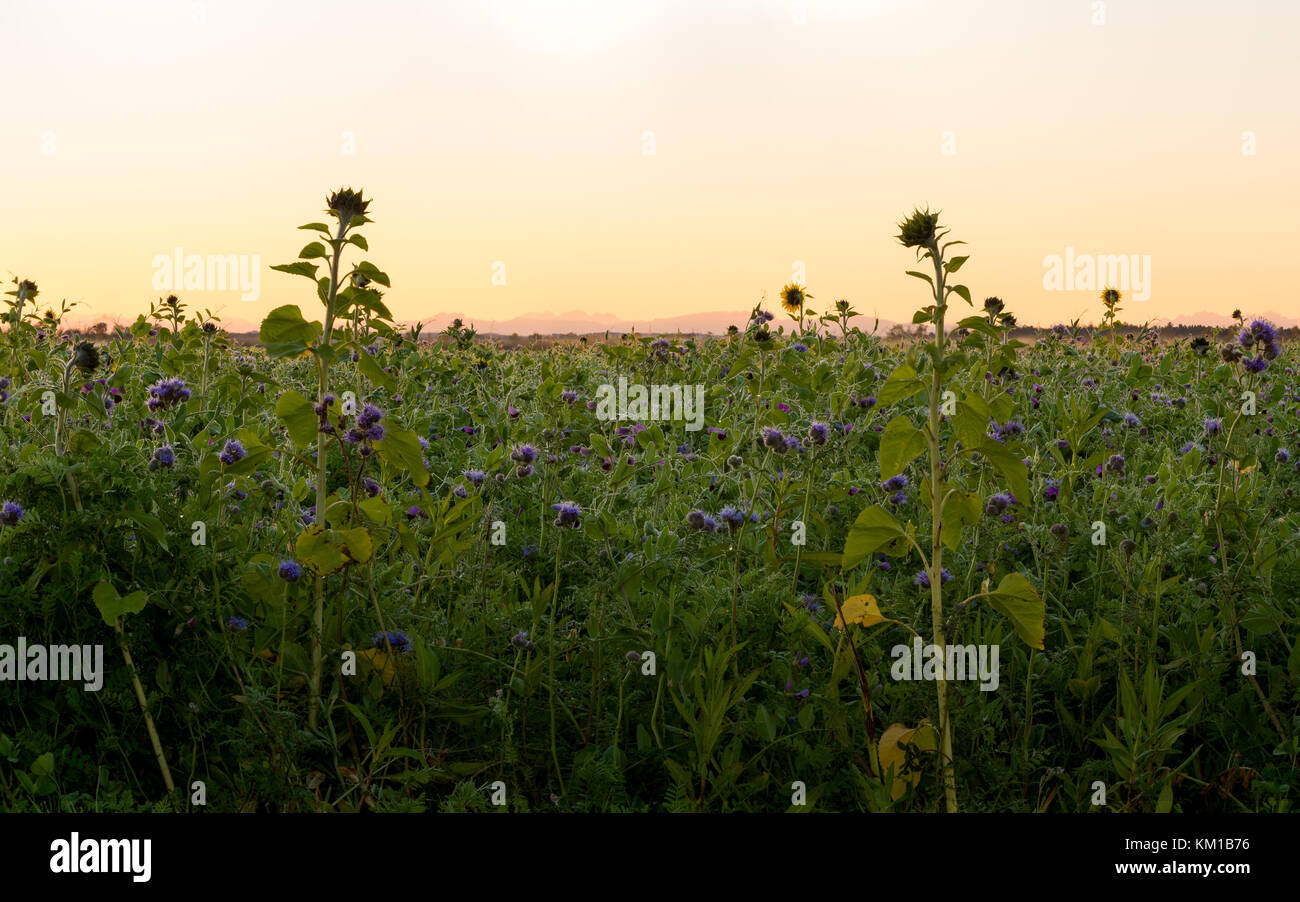 The early morning sun rising of a crop field with some tall sunflowers soaking up the sun rays. - Stock Image