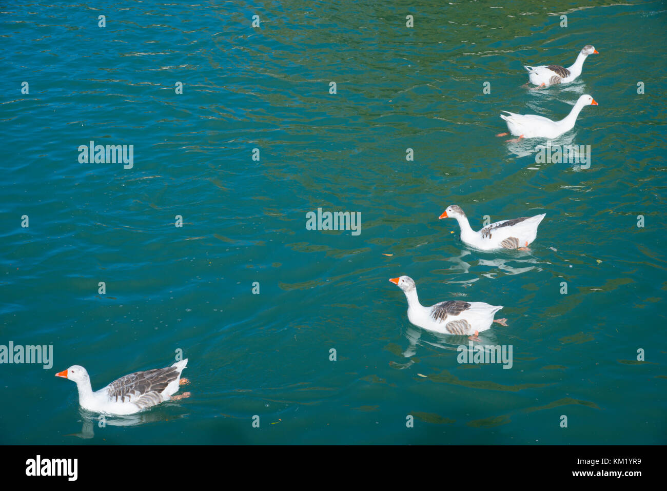 Gooses swimming in a pond. - Stock Image