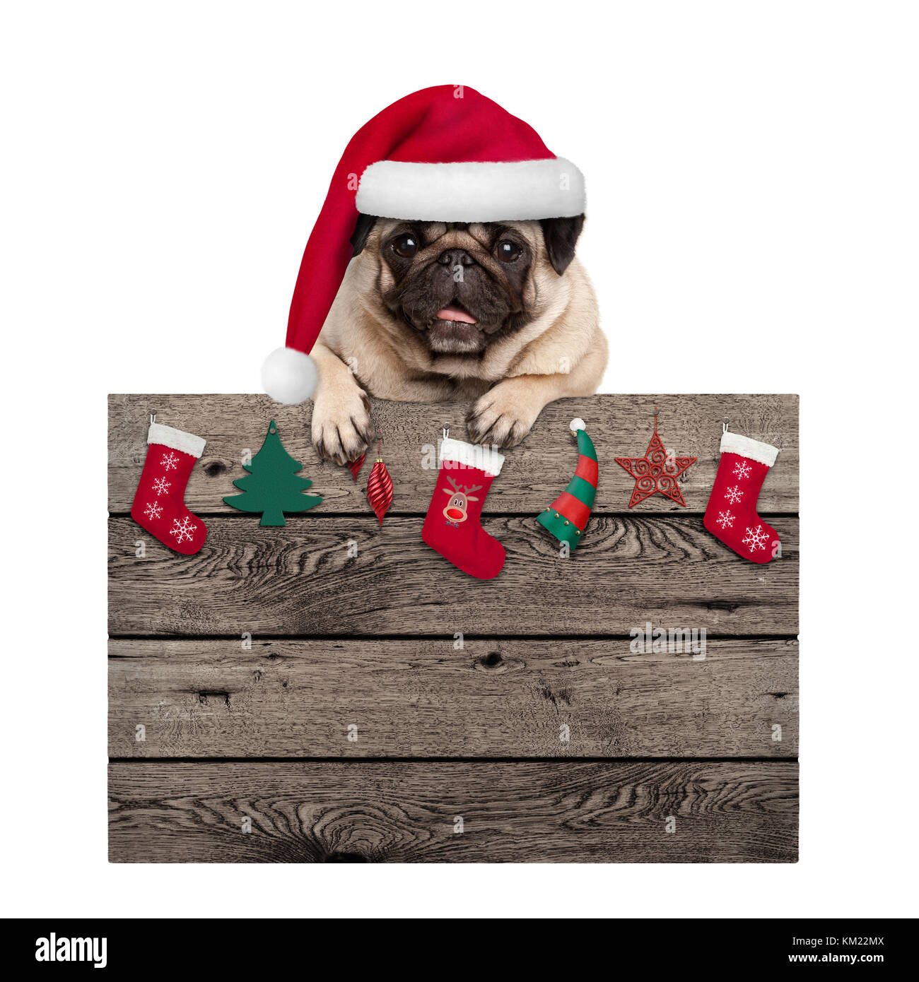 cute pug puppy dog wearing santa hat hanging with paws old wooden sign with Christmas decoration, isolated on white - Stock Image