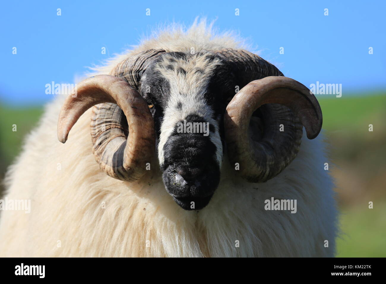 Sheep in Ireland - Stock Image
