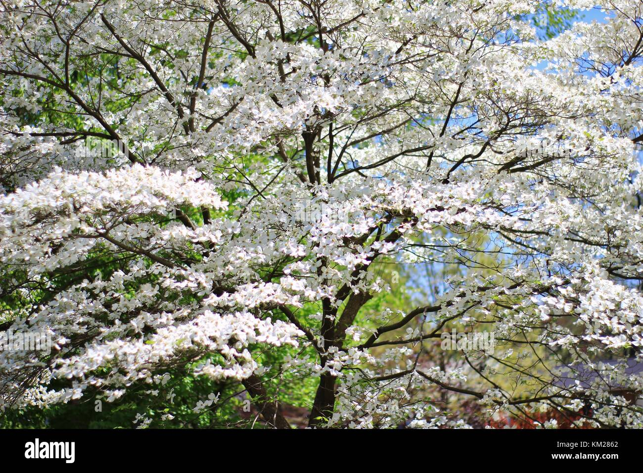 Dogwood Tree Blossoms - The Purest White from Colors in Nature Stock ...