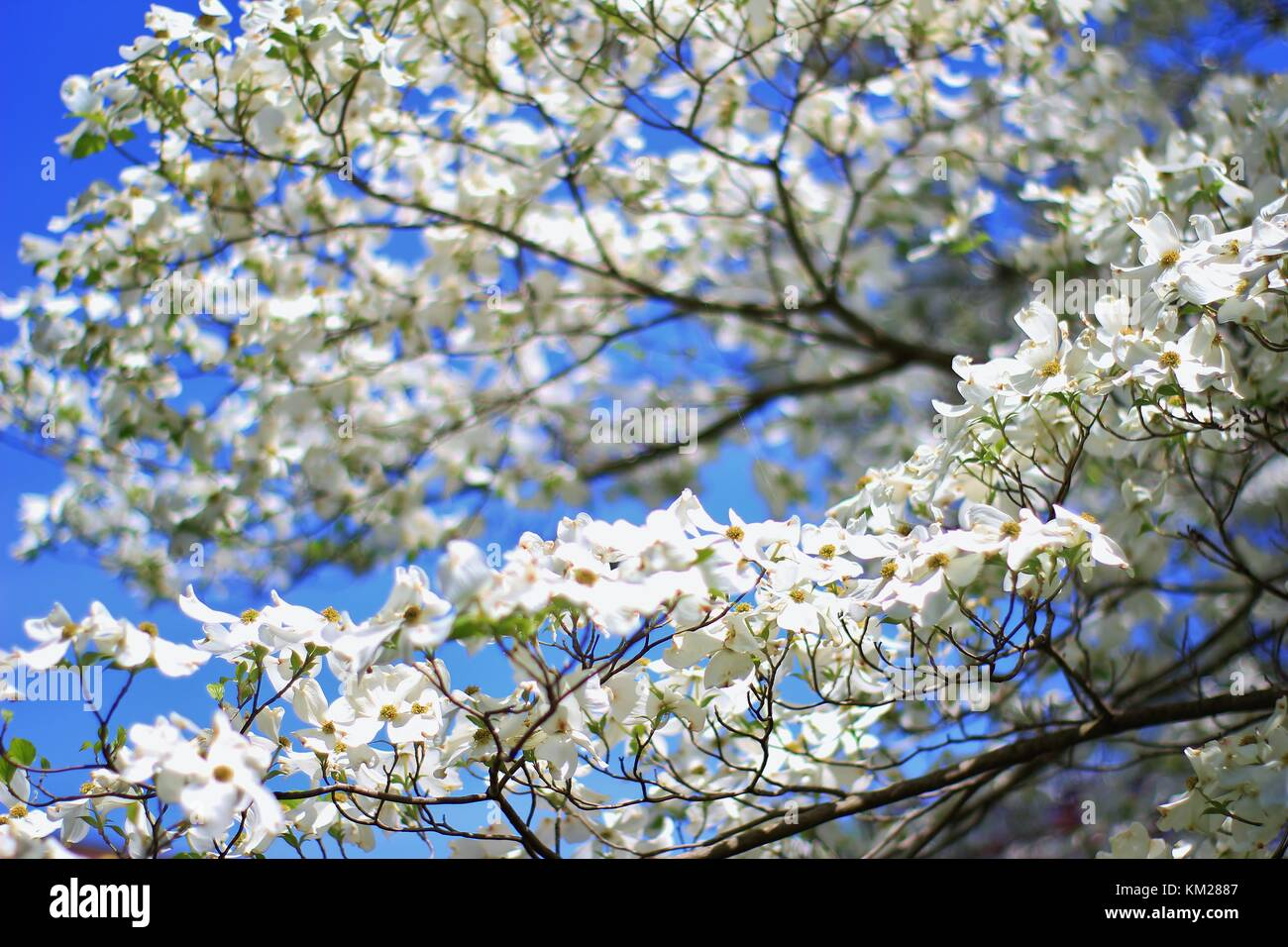 Dogwood Tree Blossoms - The Purest White from Colors in Nature Stock Photo