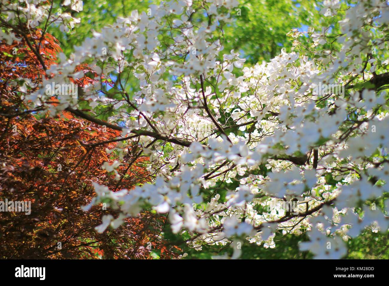 Dogwood Tree In Bloom Stock Photos & Dogwood Tree In Bloom Stock ...