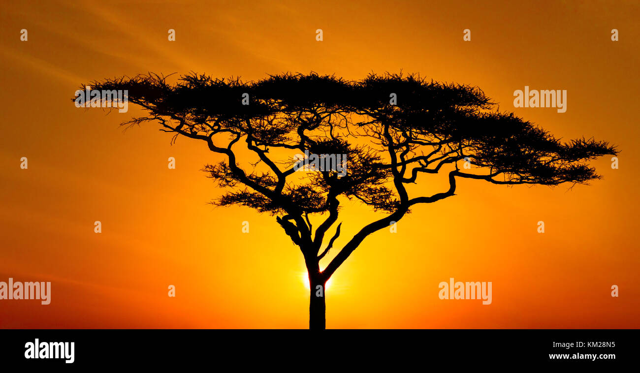 Silhouette of an acacia tree at sunset, Serengeti National Park, Tanzania, Africa - Stock Image