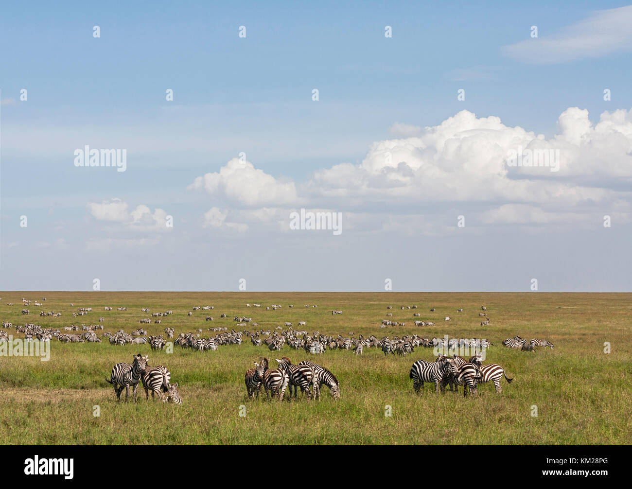 Zebras grazing in the Serengeti, Tanzania, Africa - Stock Image