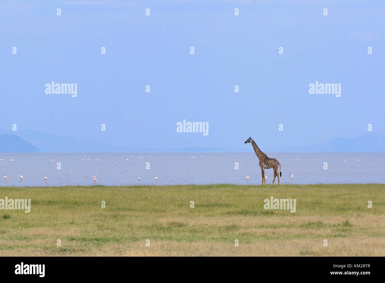 Giraffe and flamingos on the shoreline of Lake Manyara, Tanzania, Africa - Stock Image