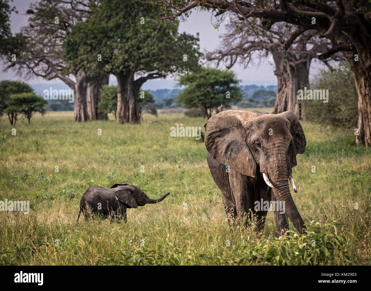 African Elephant with baby in the Serengeti, Tanzania, Africa - Stock Image