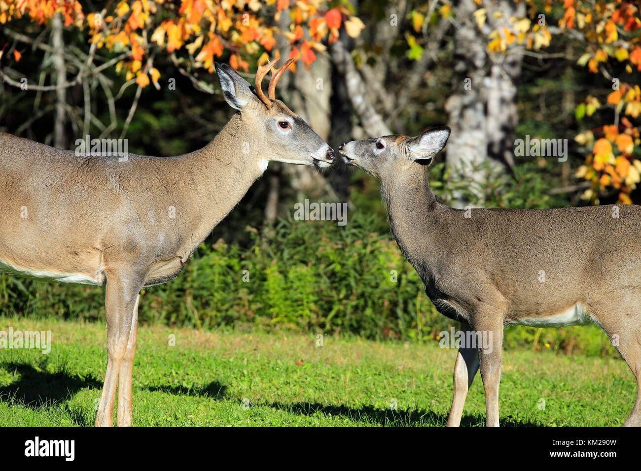Love in the wild with Deer - Stock Image