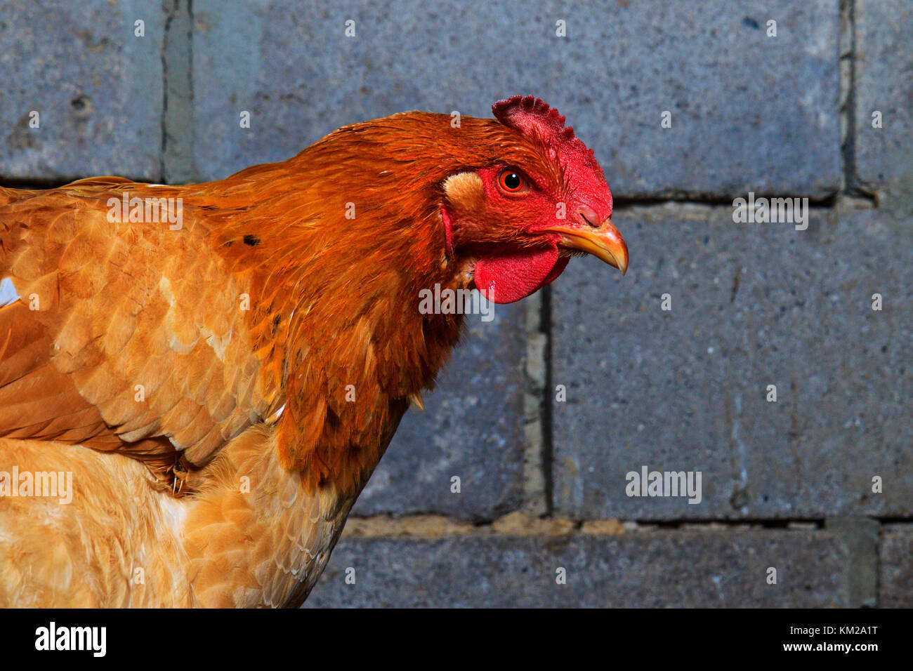 red chicken portrait on the background of a brick wall - Stock Image