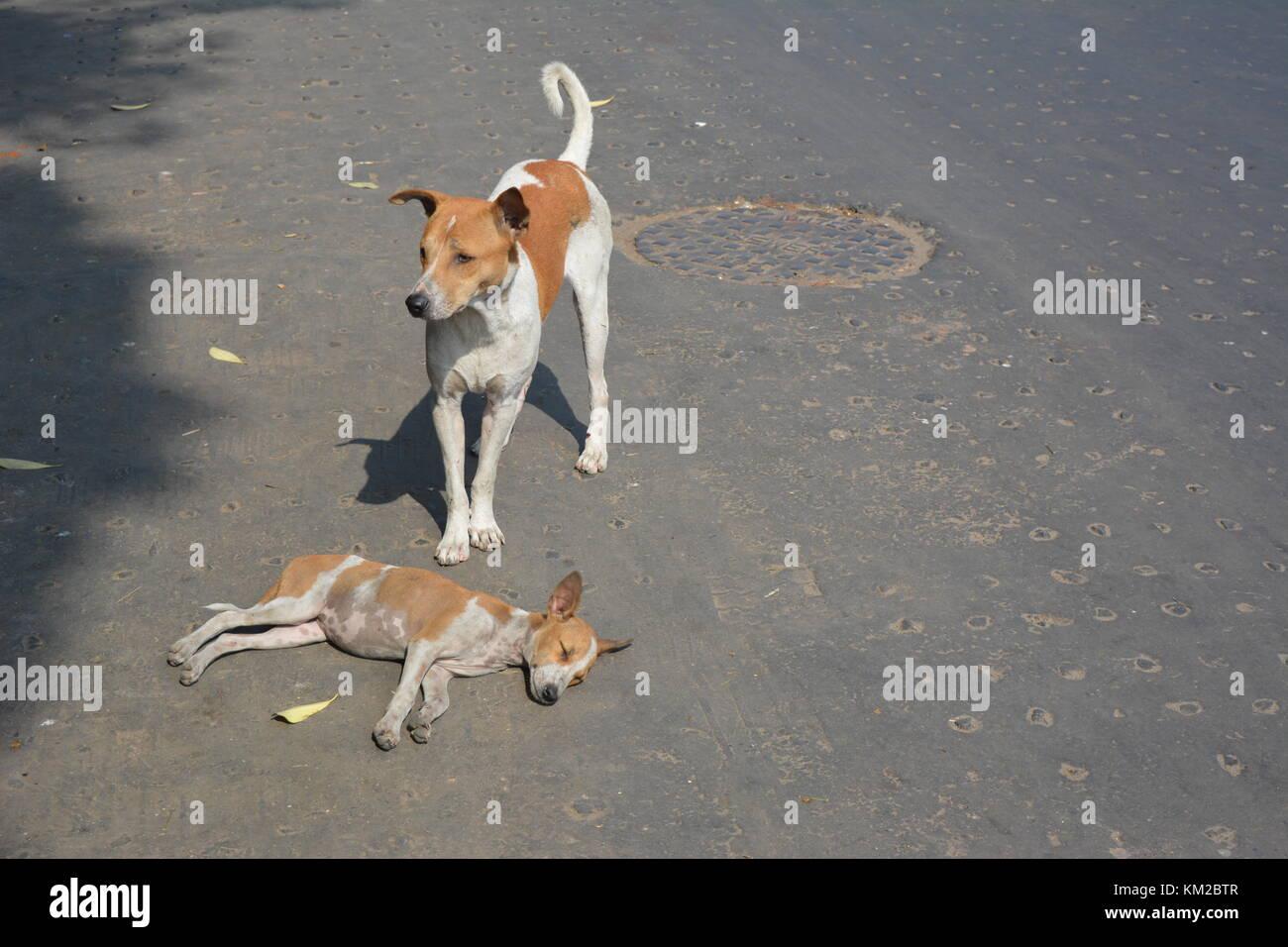 Kolkata, India, 3rd December 2017. Indian Street dog sleeps on Sunday morning in four lane Barrackpore Trunk Road - Stock Image