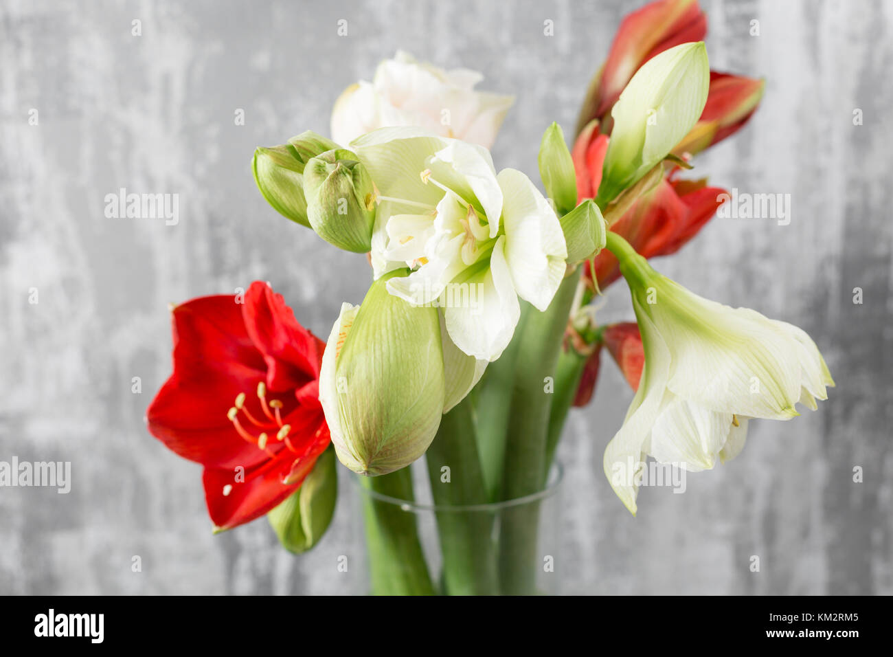 Winter flowers. Amaryllis in a vase watering can standing on a wooden table. On the background old gray wall art. - Stock Image