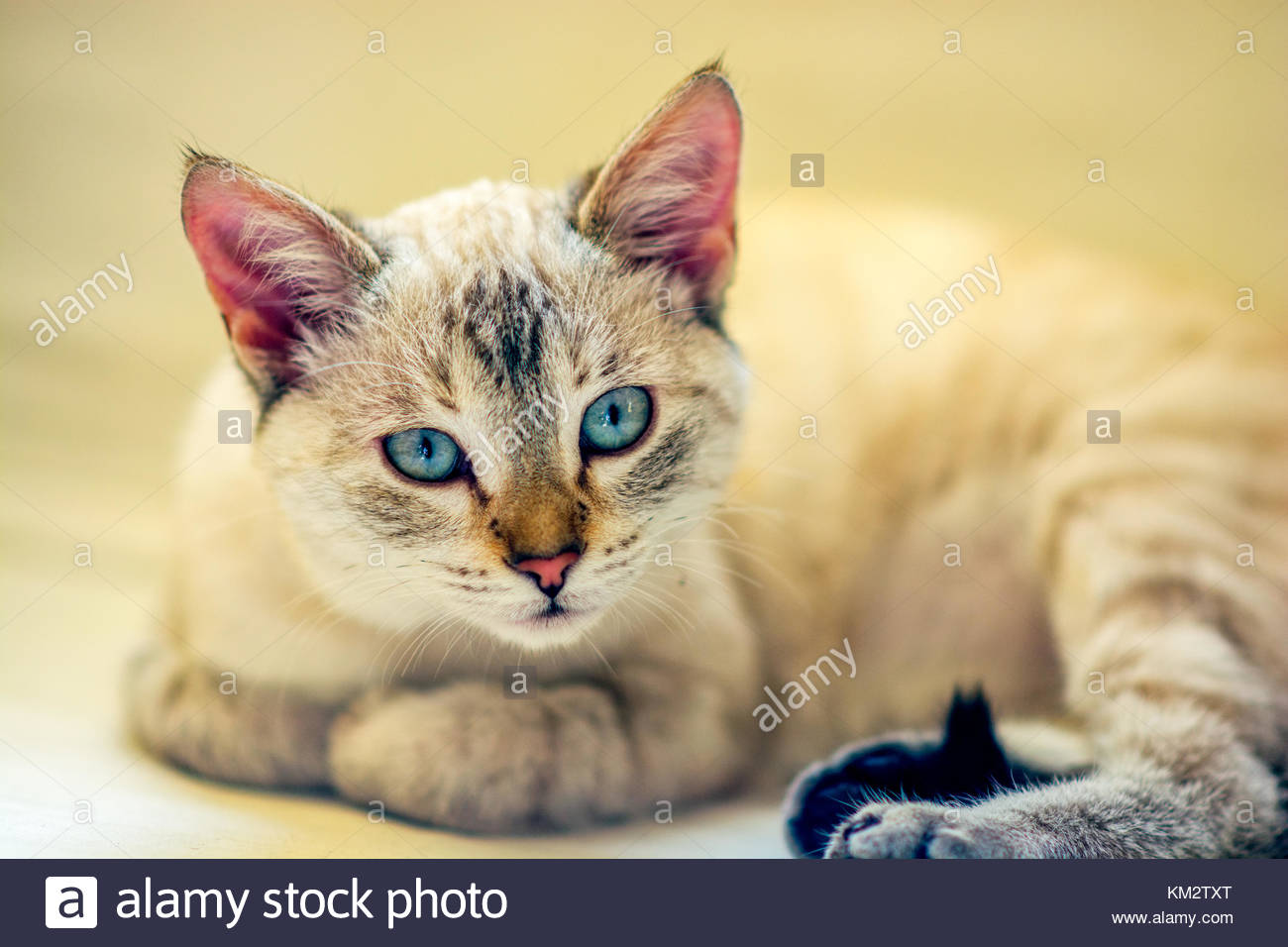 Baby kitty resting over the couch staring. When cats are so young they are very curious about everything and everything - Stock Image