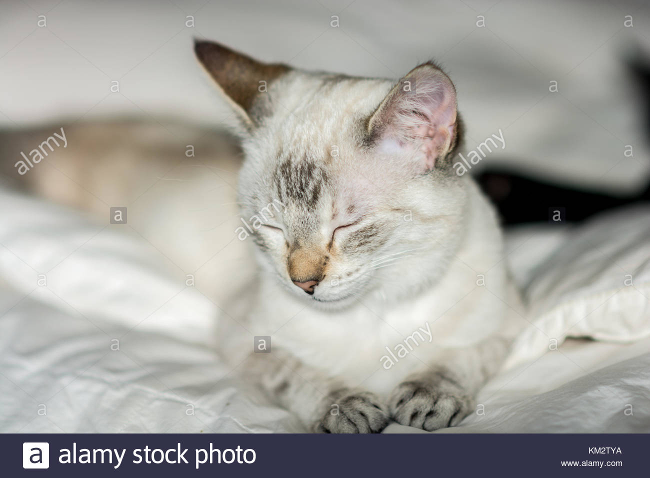 Extremely lazy female common cat  wandering over to the pillow of the bedroom bed - Stock Image