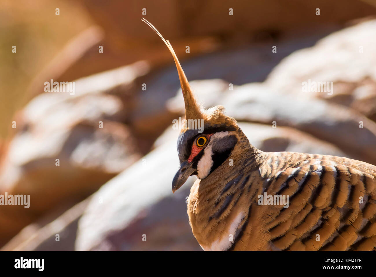 Spinifex Pigeon (Geophaps plumifera) race 'leucogaster'. Ormiston Gorge, West MacDonnell Ranges, Northern - Stock Image