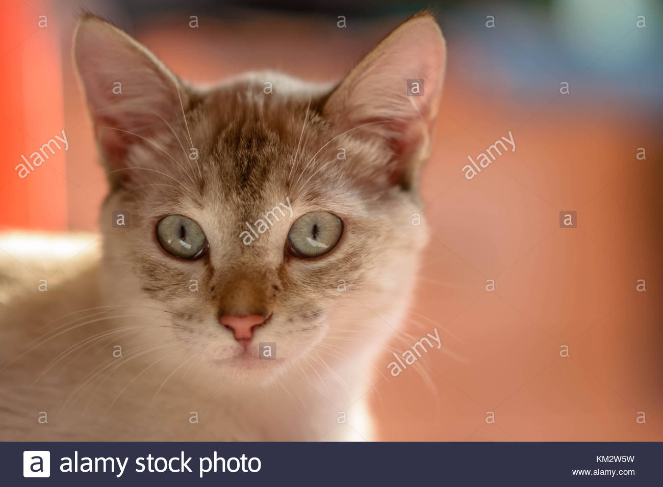 Common female cat watching directly at us with green intense eyes - Stock Image