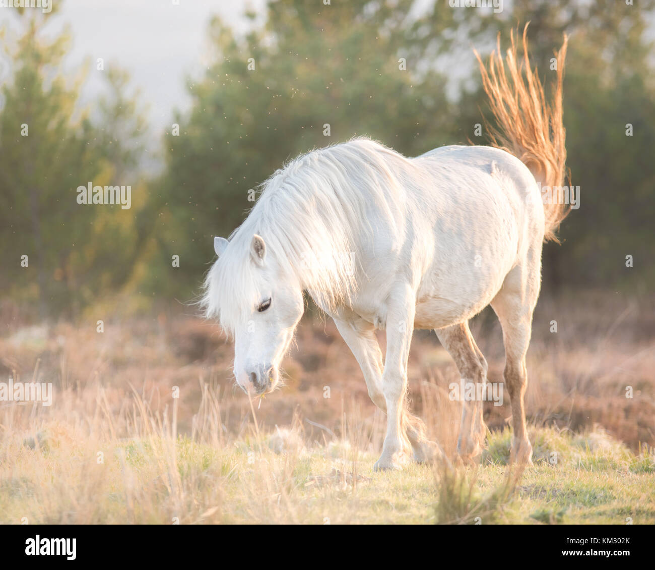 White horse - Andalusian stallion and sunset scenery Stock Photo