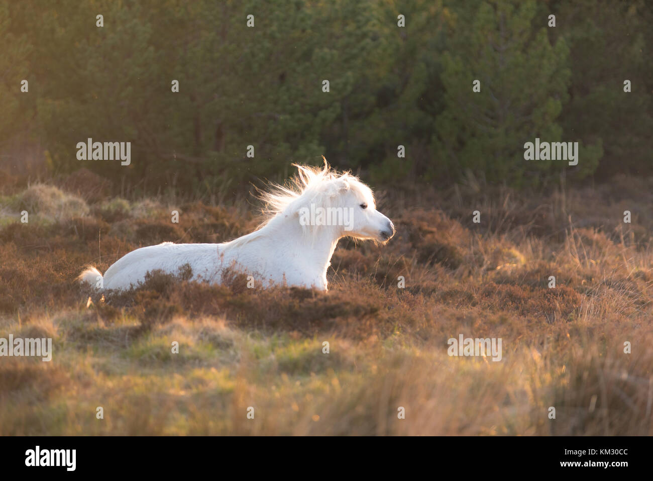 White horse - Andalusian stallion and sunset scenery - Stock Image