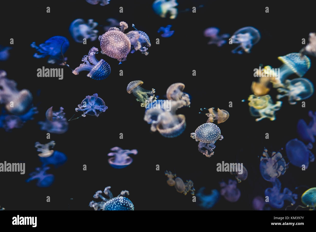 colorful jellyfishes on black background - white spotted jellyfish - Stock Image