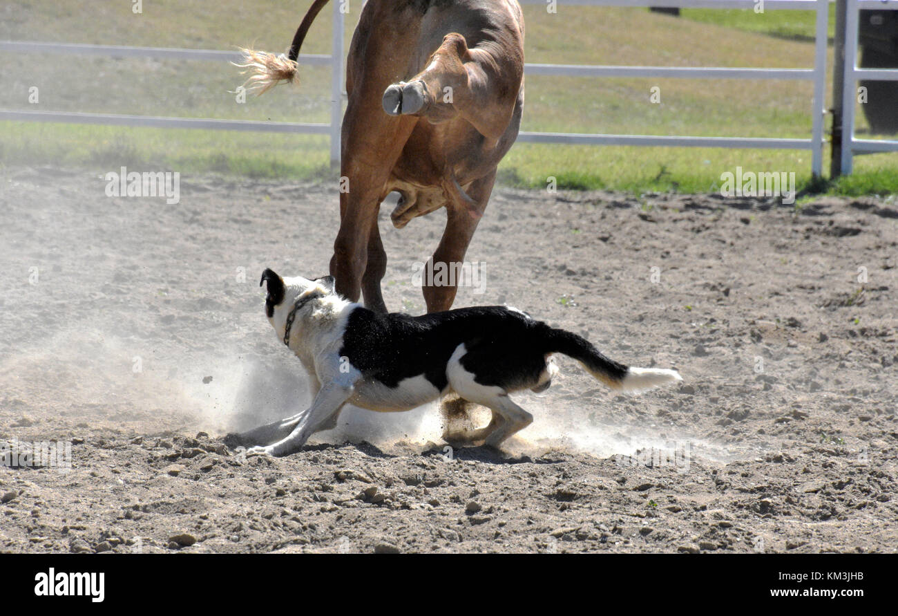 CATTLE DOGS AT WORK ROUNDING UP CATTLE IN AUSTRALIA - Stock Image