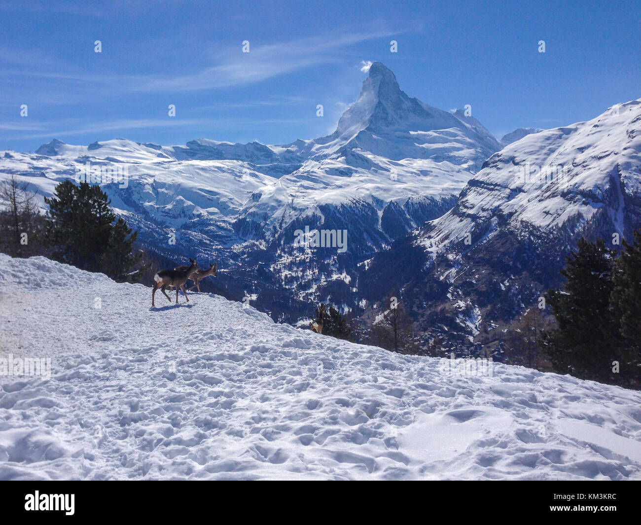 Panoramic view of Matterhorn with two deers seen from Tufteren station - Stock Image
