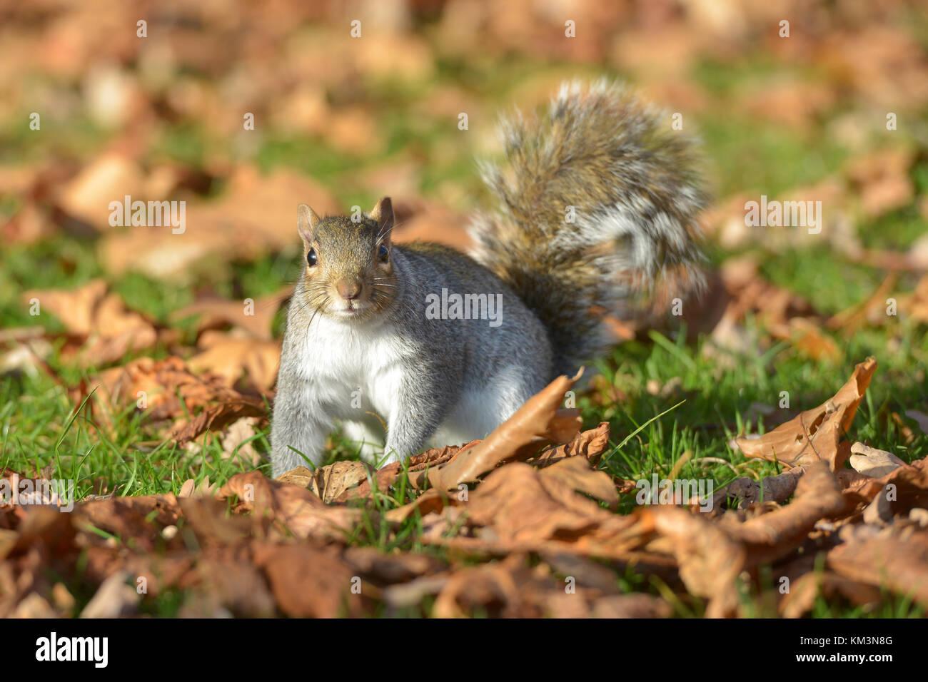 Grey squirrel in Kensington Gardens, London. - Stock Image