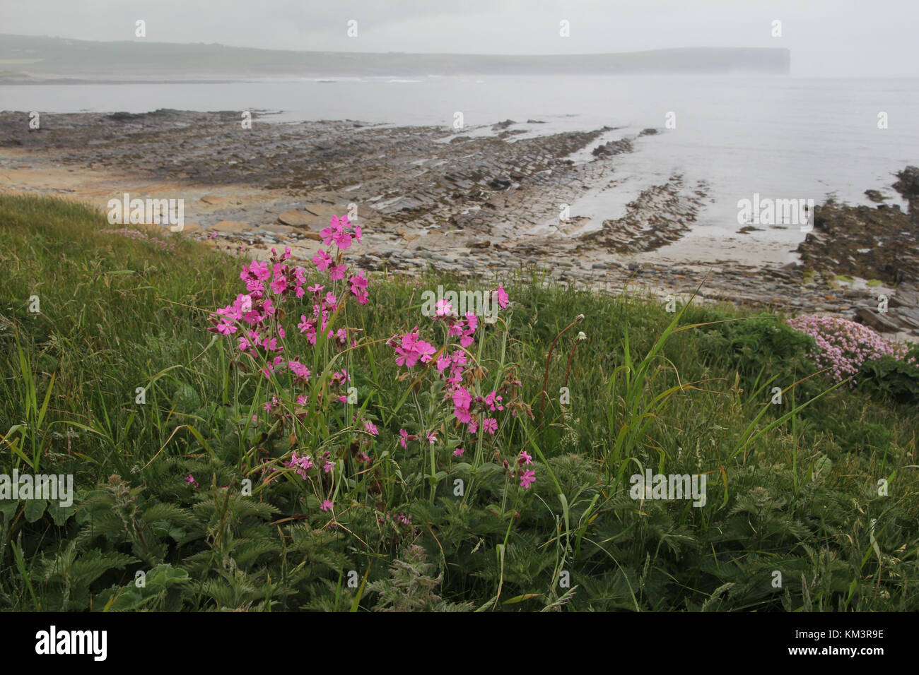 Red Campion Stock Photo