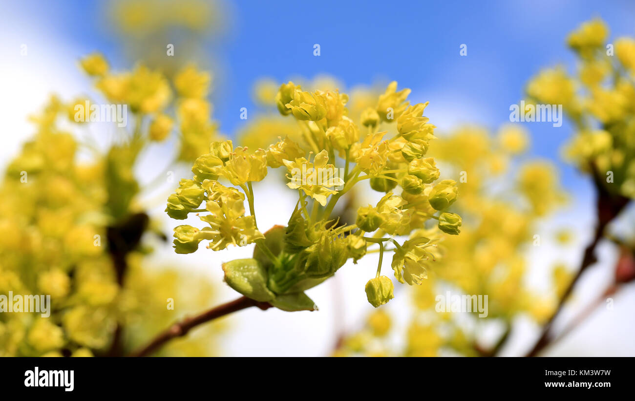 Yellow Blossoms Tree Against Blue Stock Photos Yellow Blossoms