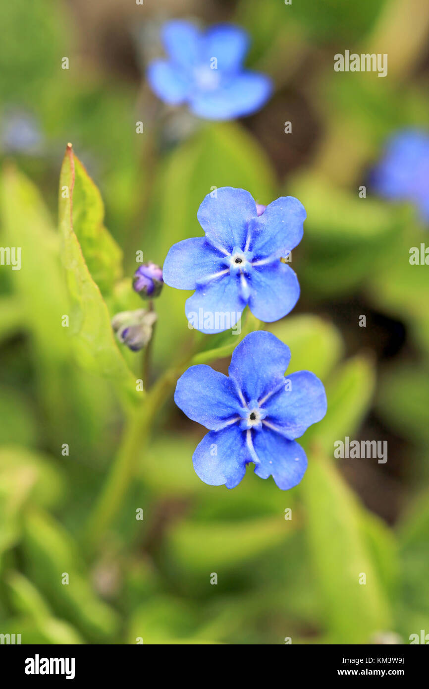 Azure blue flowers stock photos azure blue flowers stock images blue flowers of omphalodes verna also known by common names creeping navelwort or blue izmirmasajfo
