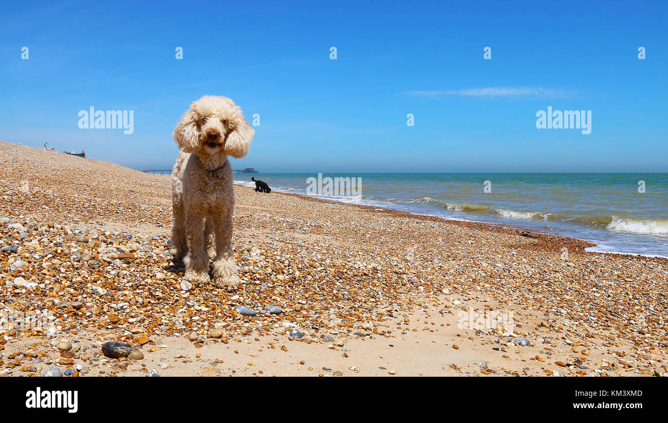 Poodles Stock Photos Poodles Stock Images Alamy