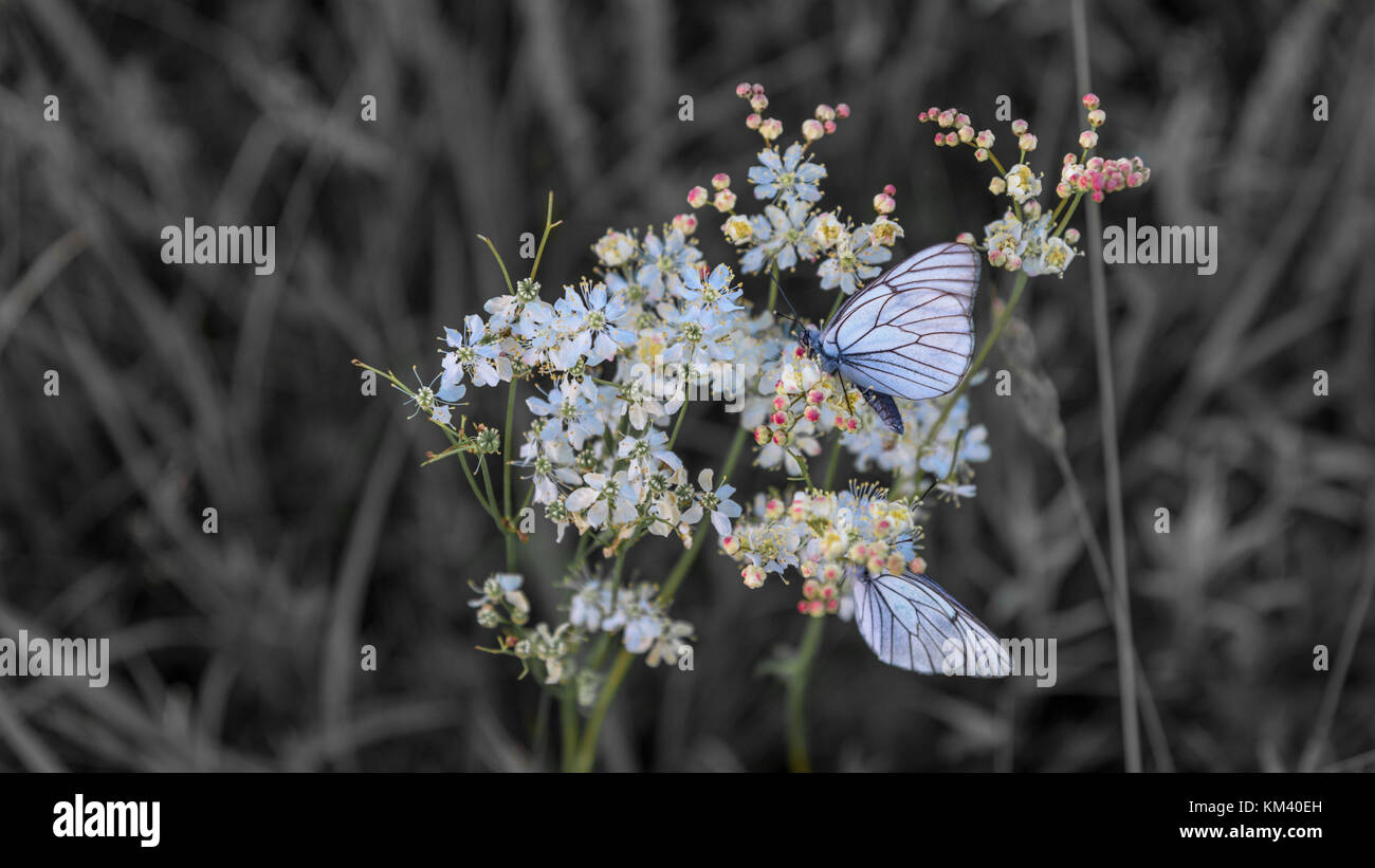 Closeup blue butterflies on flower selective color - Stock Image