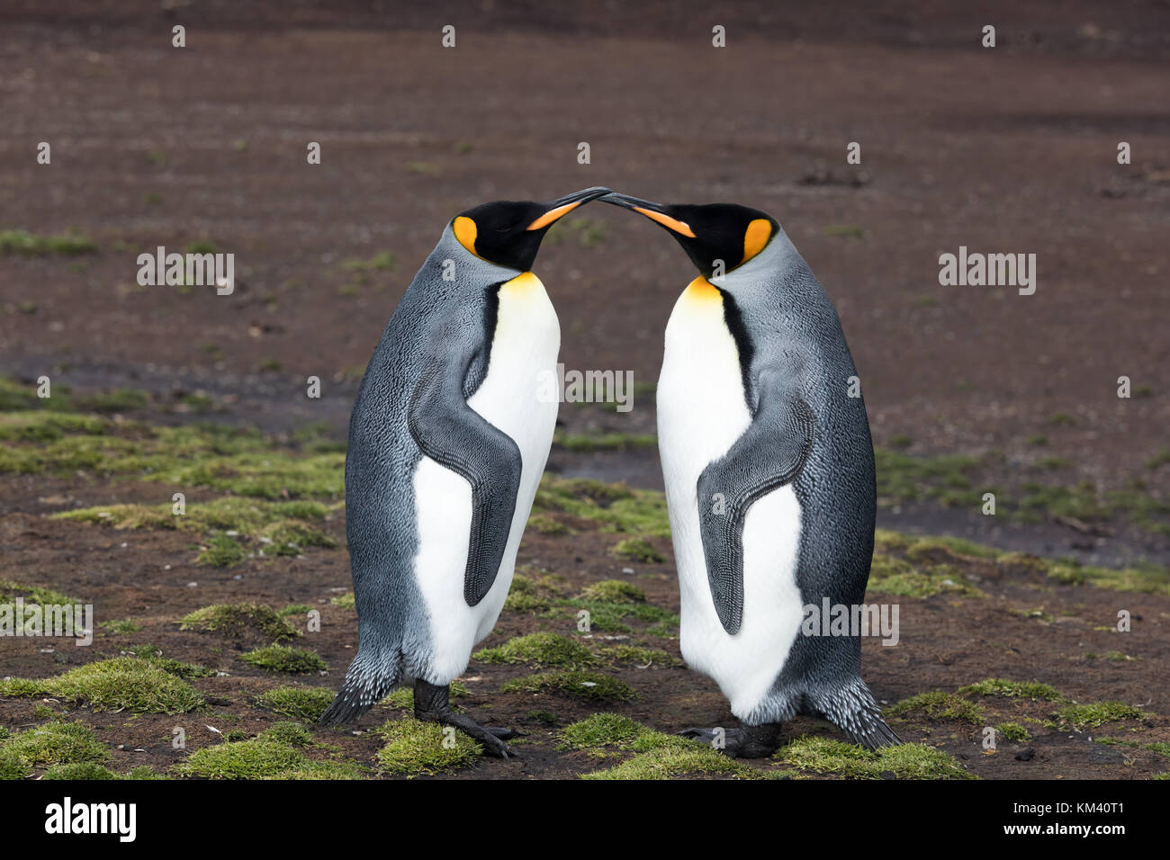 King penguins on Volunteer Beach, Falkland Islands - Stock Image